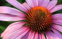 Echinacea is one of the extracts that Naturex has had certified as non GMO.