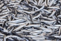 Low biomass has led to the recommended closure of the Peruvian anchovy fishing season.