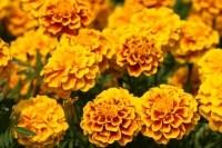 Lutein is found in dark leafy greens in the diet, while marigold flowers (above) are the established commercial source of lutein