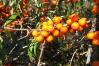 Sea Buckthorn trends well in Scandinavia (Picture Copyright: Leo Setä/Flickr)